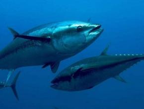世界金枪鱼围网组织将召开紧急会议,就金枪鱼供需问题进行磋商